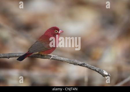 Red-billed Firefinch (Lagonosticta senegala) adult male, perched on twig, Gambia, january - Stock Photo