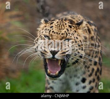 Head portrait of a very rare Amur Leopard snarling. - Stock Photo