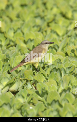 Cattle Tyrant Machetornis rixosa adult insect beak perched aquatic vegetation Vicente Lopez Buenos Aires Province - Stock Photo
