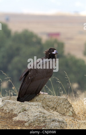 Eurasian Black Vulture (Aegypius monachus) juvenile, standing on rock in steppes, Extremadura, Spain, september - Stock Photo
