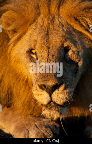 Scarred male lion in Africa at dawn (Madikwe Game Reserve, South Africa) - Stock Photo