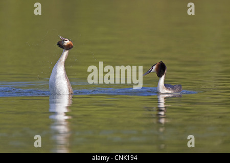 Great Crested Grebe Podiceps cristatus adult pair male displaying female after swimming underwater towards her courtship - Stock Photo