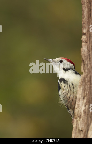Middle Spotted Woodpecker (Dendrocopos medius) adult, climbing up tree trunk, Hungary - Stock Photo