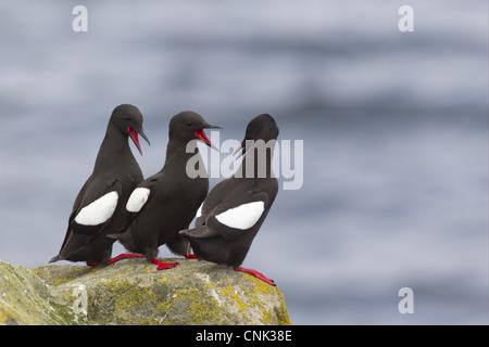 Black Guillemot Cepphus grylle three adults calling in aggressive behaviour standing on rock Shetland Islands Scotland - Stock Photo