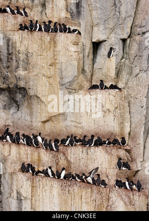 Brunnich's Guillemot (Uria lomvia) adults, colony sitting on coastal cliff ledges, Alkefjelet, Spitsbergen, Svalbard, - Stock Photo