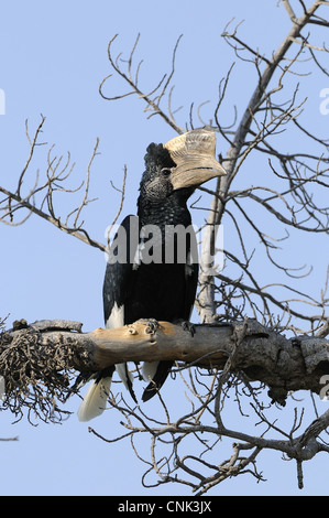 Black-and-white-casqued Hornbill (Bycanistes subcylindricus) adult male, perched on branch, Masai Mara, Kenya - Stock Photo