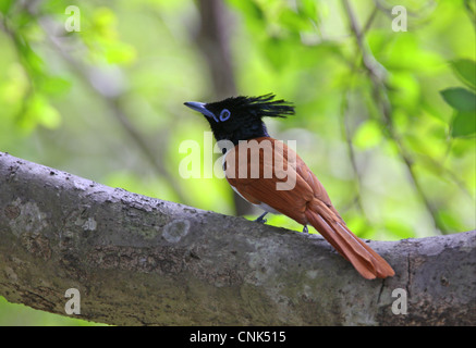 Asian Paradise-flycatcher (Terpsiphone paradisi ceylonensis) sub-adult male, perched on branch, Sri Lanka, december - Stock Photo