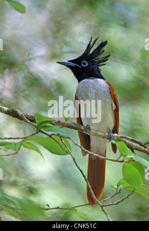 Asian Paradise-flycatcher (Terpsiphone paradisi ceylonensis) sub-adult male, perched on twig, Sri Lanka, december - Stock Photo