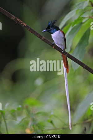Asian Paradise-flycatcher (Terpsiphone paradisi paradisi) adult male, intermediate phase, perched on branch, Sri - Stock Photo