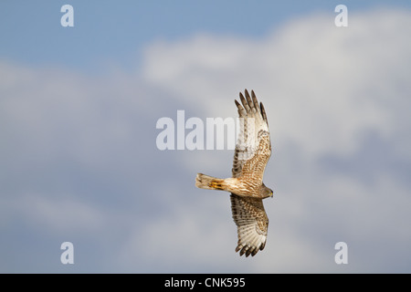 Swamp Harrier (Circus approximans) adult, in flight, New Zealand, november - Stock Photo