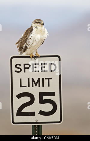 Ferruginous Hawk Buteo regalis light form juvenile perched 'Speed Limit 25' roadsign Bosque del Apache National - Stock Photo