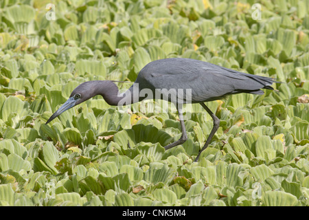 Little Blue Heron (Egretta caerulea) adult, hunting amongst Water Lettuce (Pistia stratiotes), Corkscrew Swamp, - Stock Photo