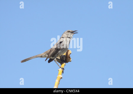 Bahama Mockingbird (Mimus gundlachii) adult, singing, perched on stem, Turks and Caicos Islands - Stock Photo