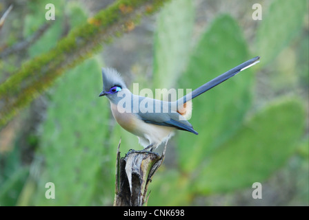 Crested Coua (Coua cristata) adult, perched in tamarind gallery forest, Berenty Nature Reserve, Southern Madagascar, - Stock Photo
