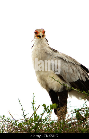 Secretary Bird on Nest - Stock Photo