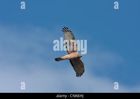 Cinereous Harrier (Circus cinereus) adult female, in flight, Estancia la Angostura, Santa Cruz, Argentina, november - Stock Photo