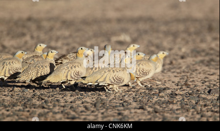 Spotted Sandgrouse (Pterocles senegallus) adult males and females, flock standing in desert, near Erg Chebbi, Morocco, - Stock Photo
