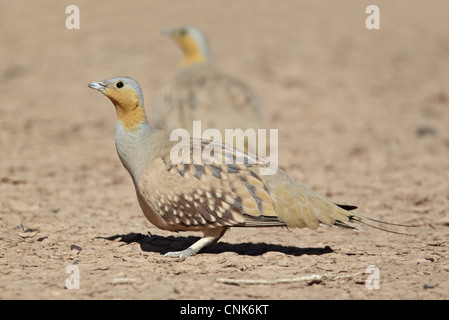 Spotted Sandgrouse (Pterocles senegallus) adult males, standing in desert, near Erg Chebbi, Morocco, february - Stock Photo