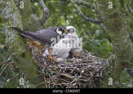 Eurasian Hobby Falco subbuteo adult female chicks nest nesting old crow nest Oak Quercus sp. tree Shropshire England - Stock Photo