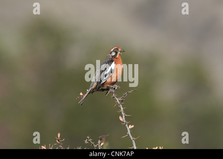 Rufous-tailed Plantcutter (Phytotoma rara) adult male, perched on spiny twig, El Chalten, Santa Cruz, Argentina, - Stock Photo