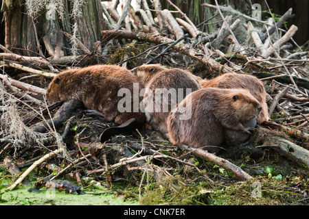 North America, USA, Texas, Caddo Lake, American beaver (Castor canadensis) adults sleeping on lodge - Stock Photo