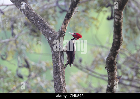 Pale-billed Woodpecker (Campephilus guatemalensis) adult female, foraging on tree trunk, Costa Rica, february - Stock Photo