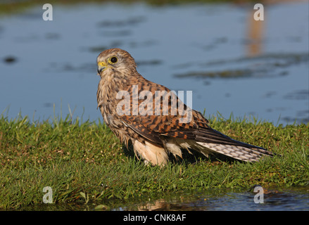 Common Kestrel (Falco tinnunculus) adult female, with wet plumage after bathing in pond, Norfolk, England, october - Stock Photo