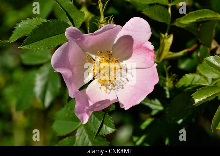 Dog rose (Rosa canina) in flower in an french garden. - Stock Photo