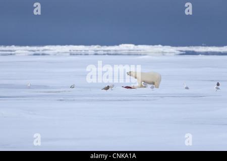 Polar Bear Ursus maritimus adult feeding prey Glaucous Gulls Larus hyperboreus scavenging standing pack ice habitat - Stock Photo