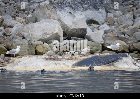Polar Bear Ursus maritimus adult Glaucous Gulls Larus hyperboreus feeding scavenging dead Fin Whale Balaenoptera - Stock Photo