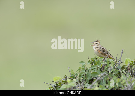Rufous-naped Lark (Mirafra africana) adult, calling, perched in bush, Masai Mara, Kenya - Stock Photo