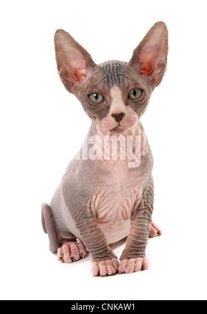 Domestic Cat, Sphynx, kitten, sitting - Stock Photo