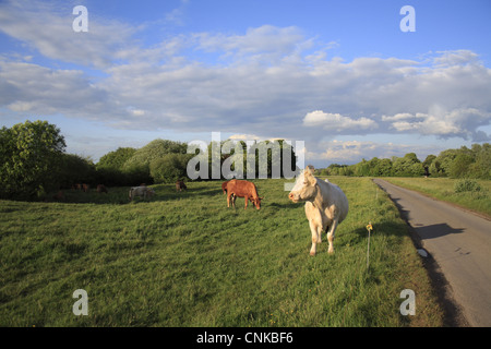 Domestic Cattle cows herd grazing beside electric fence roadside pasture commonland reserve Mellis Common Mellis - Stock Photo