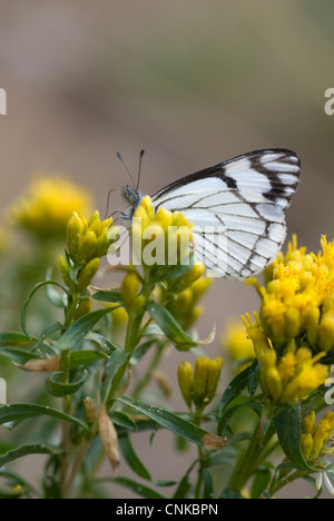 A Checkered White butterfly feeding on yellow flowers.  Shallow depth of field. - Stock Photo