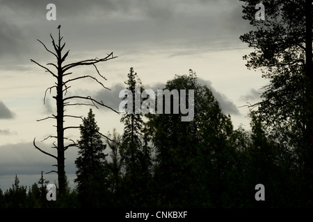 Northern Hawk Owl Surnia ulula adult perched at top dead pine tree silhouetted at dusk in boreal forest habitat - Stock Photo