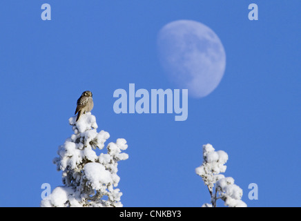 Northern Hawk Owl Surnia ulula adult perched snow covered Norway Spruce Picea abies treetop Moon background Finland - Stock Photo
