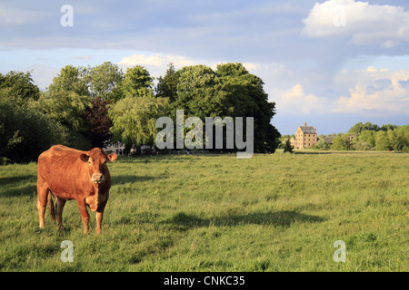 Domestic Cattle, Limousin cow, standing in pasture of commonland reserve, Mellis Common, Mellis, Suffolk, England, - Stock Photo