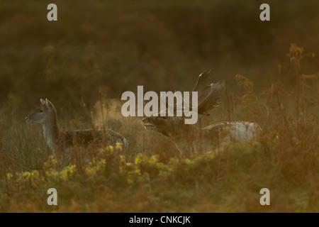 Fallow Deer Dama dama buck doe calling breath condensing cold air dawn during rutting season Leicestershire England - Stock Photo