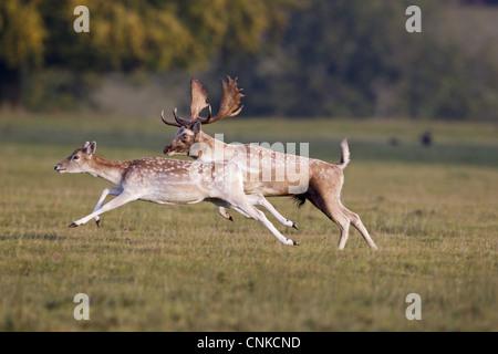 Fallow Deer (Dama dama) adult pair, buck chasing doe during rutting season, Helmingham Hall Deer Park, Suffolk, - Stock Photo