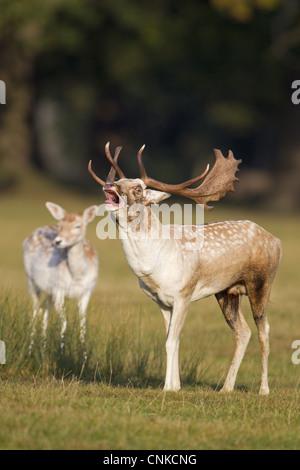 Fallow Deer Dama dama buck roaring during rutting season doe in background Helmingham Hall Deer Park Suffolk England - Stock Photo