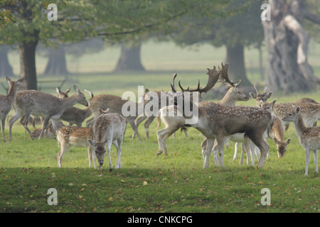 Fallow Deer Dama dama buck roaring surrounded by herd rival buck immature buck does fawns during rutting season - Stock Photo