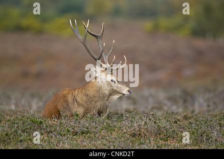Red Deer (Cervus elaphus) stag, resting on heathland during rutting season, Minsmere RSPB Reserve, Suffolk, England, - Stock Photo