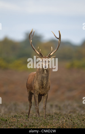 Red Deer (Cervus elaphus) stag, standing on heathland during rutting season, Minsmere RSPB Reserve, Suffolk, England, - Stock Photo
