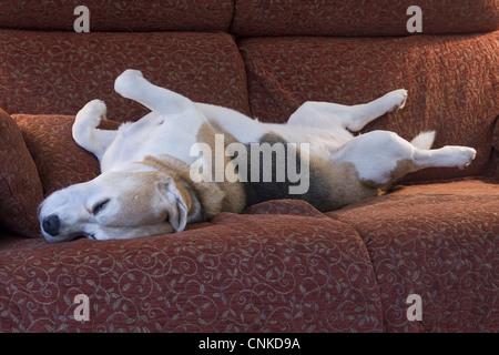 Domestic Dog, Beagle, elderly adult, sleeping on sofa, England - Stock Photo
