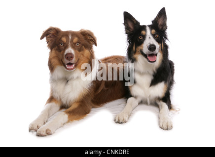 Domestic Dog, Border Collie, two tricolour adults, laying - Stock Photo