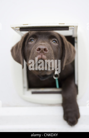 Domestic Dog Chocolate Labrador Retriever ten-week old male puppy looking out catflap Portesham Dorset England december - Stock Photo