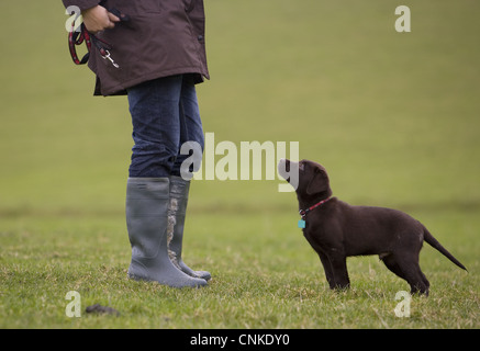 Domestic Dog Chocolate Labrador Retriever ten-week old male puppy standing beside owner field Portesham Dorset England - Stock Photo