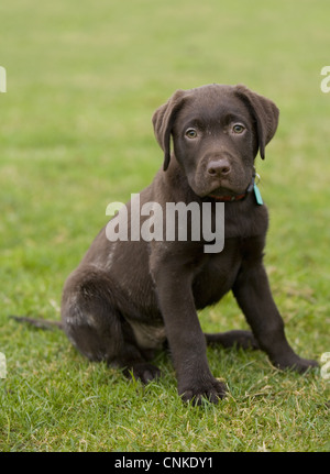 Domestic Dog, Chocolate Labrador Retriever, ten-week old male puppy, sitting in field, Portesham, Dorset, England, - Stock Photo
