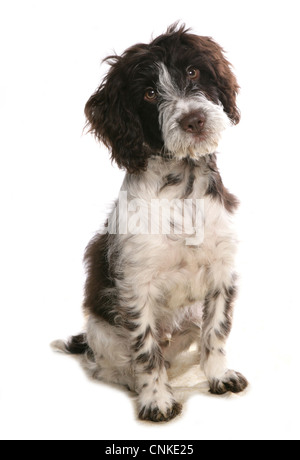 Domestic Dog, Cockerpoo (Cocker Spaniel x Poodle), puppy, sitting - Stock Photo