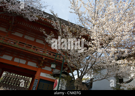Cherry Blossom Festival In Maruyama Park In Kyoto, Japan, East Asia Stock Pho...